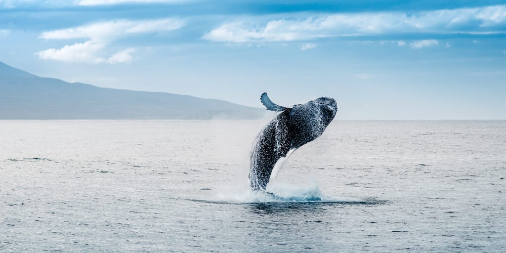 Whales and other marine mammals susceptible to COVID-19 through wastewater, new study reveals