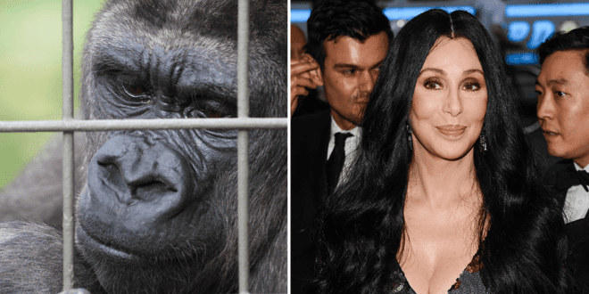 Cher calls Thailand to rescue last gorilla living alone in Bangkok's shopping mall zoo