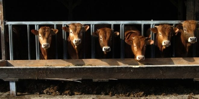 UK investigation reveals horrific calf abuse rampant in the dairy industry