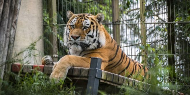 Zoo animals to get experimental vaccine against COVID-19