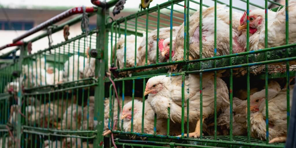 """Suffering and misery exposed at farms supplying Morrisons' """"welfare assured chicken''"""