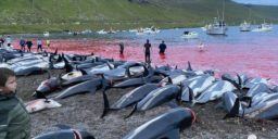 SHOCKING: 1428 dolphins killed in an illegal hunt